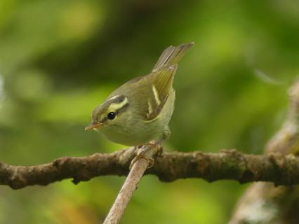 Blyths-leaf-warbler5
