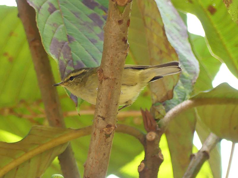 Buff-barred-warbler3