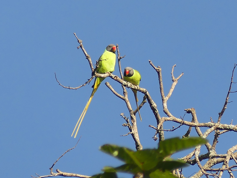 Grey-headed-parakeet