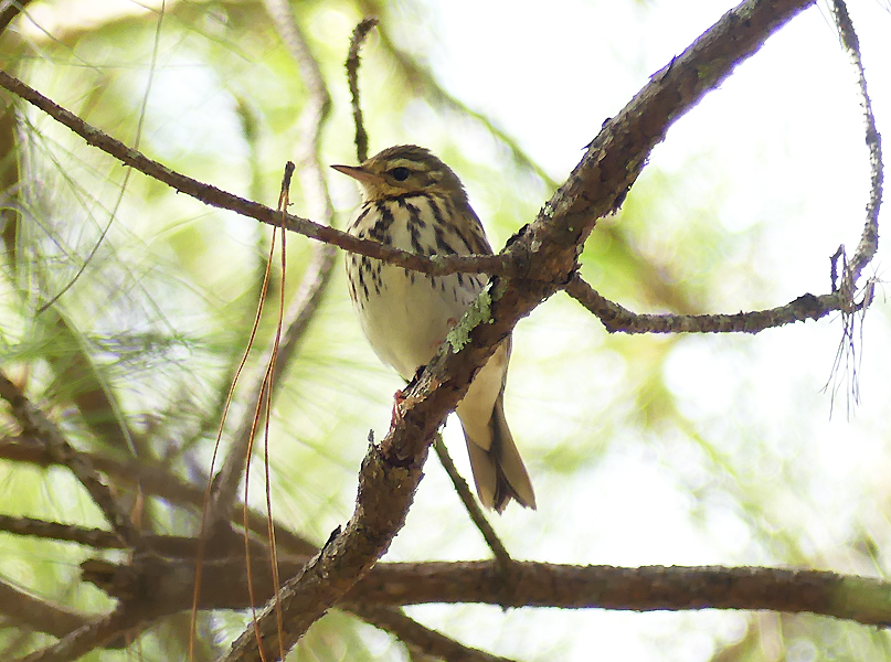 Olive-backed-pipit