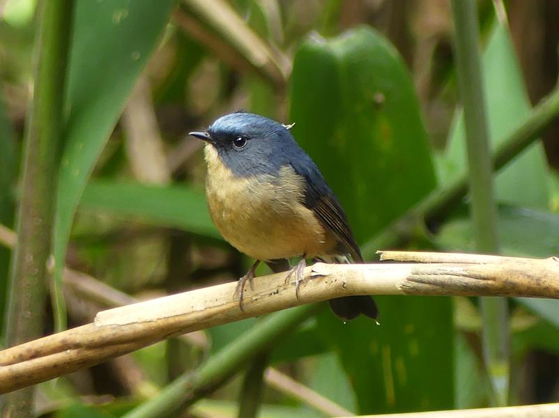 Slaty-blue-flycatcher