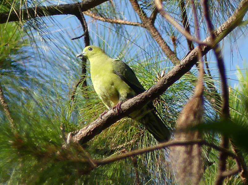 Wedge-tailed-green-pigeon