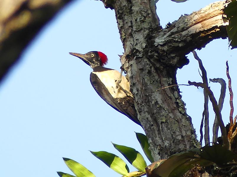 White-bellied-woodpecker