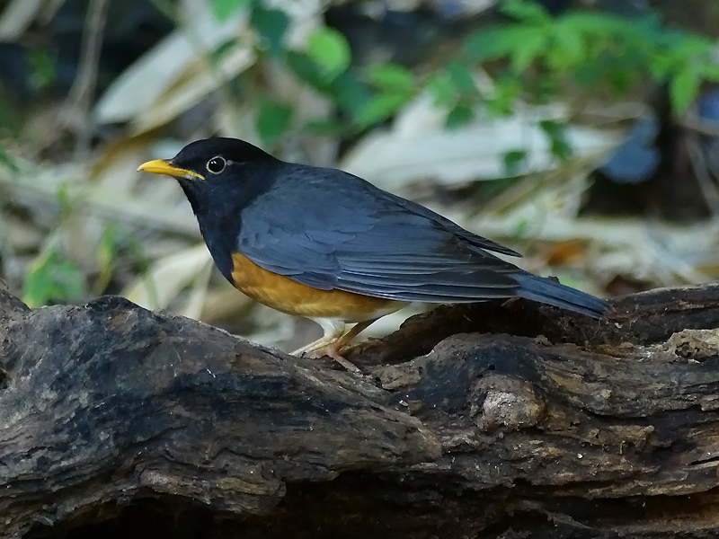 black-breasted-thrush-male5
