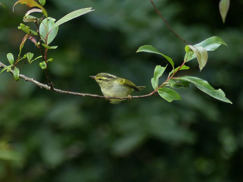 davisons-leaf-warbler4