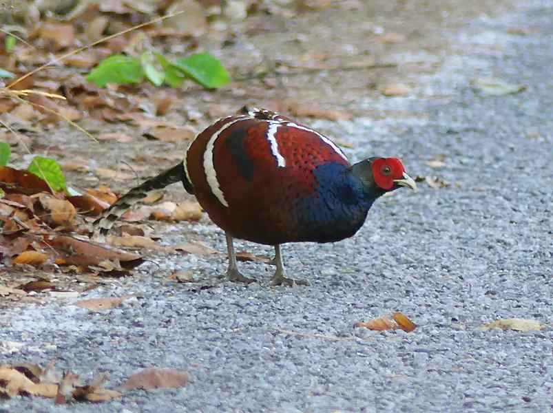 mrs-humes-pheasant2