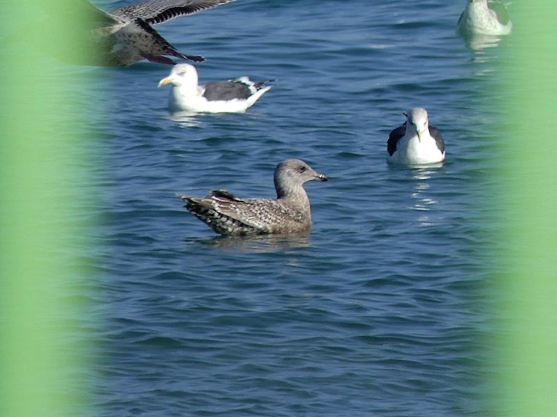 American-herring-gull