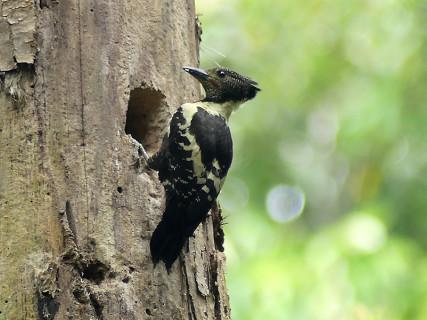 Black-and-buff-woodpecker4