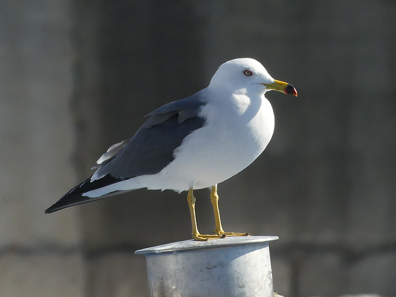Black-tailed-gull2
