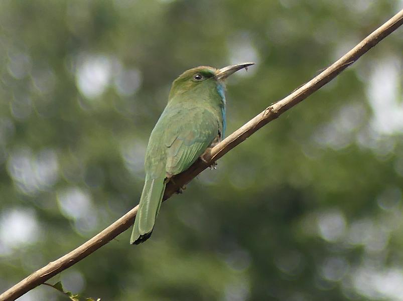 Blue-bearded-bee-eater