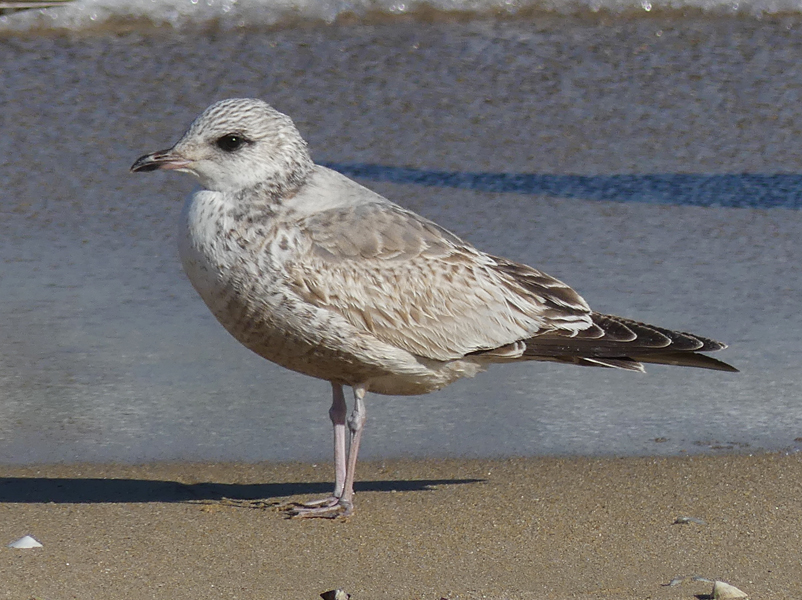 Common-gull