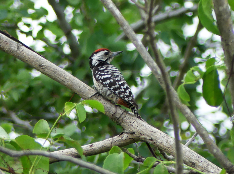 Freckle-breasted-woodpecker