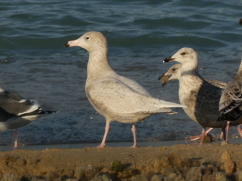 Glaucous-gull2