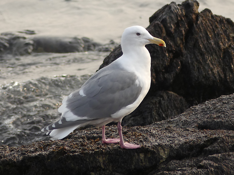 Glaucous-winged-gull2
