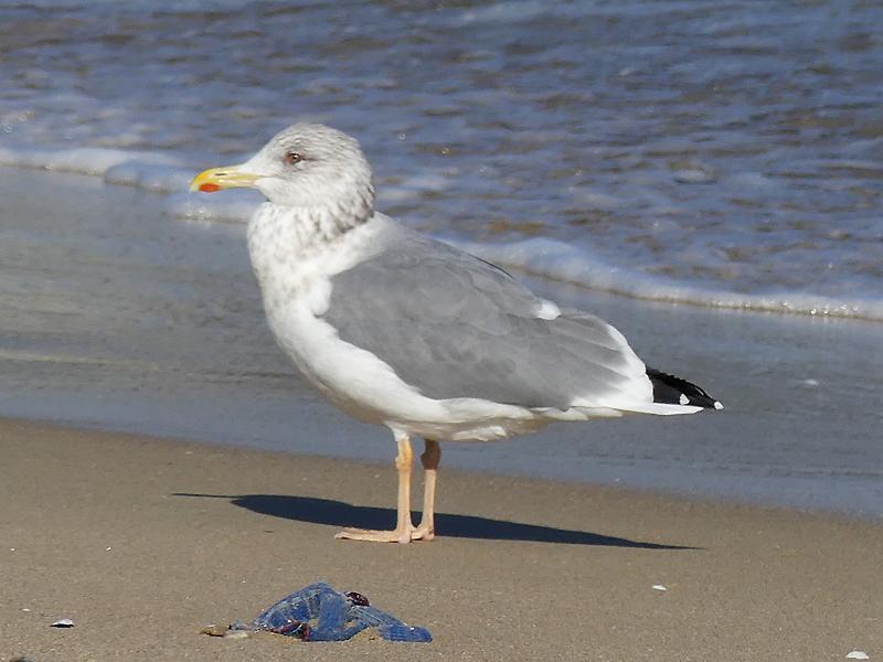 Heuglins-gull