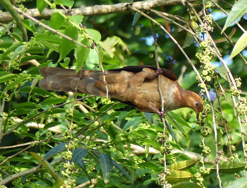 Little-cuckoodove