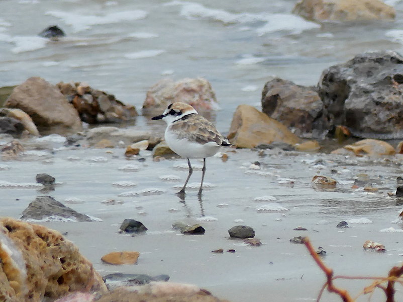 Malaysian-plover