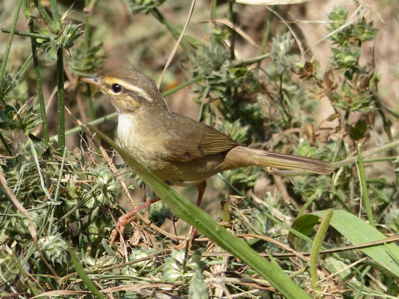 Raddes-warbler