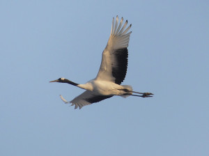 Red-crowned-crane4