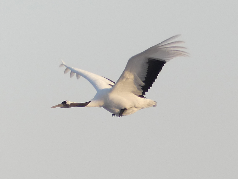 Red-crowned-crane5