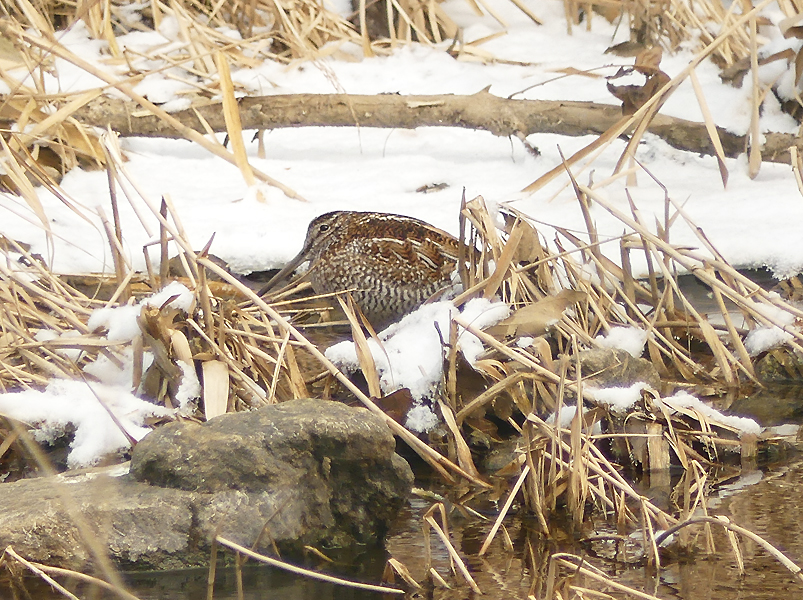 Solitary-snipe2