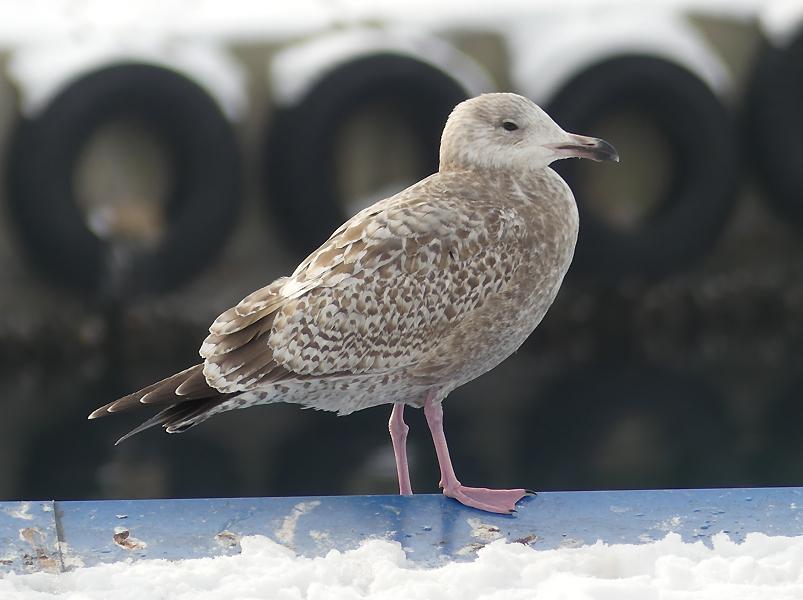 Vega-gull2