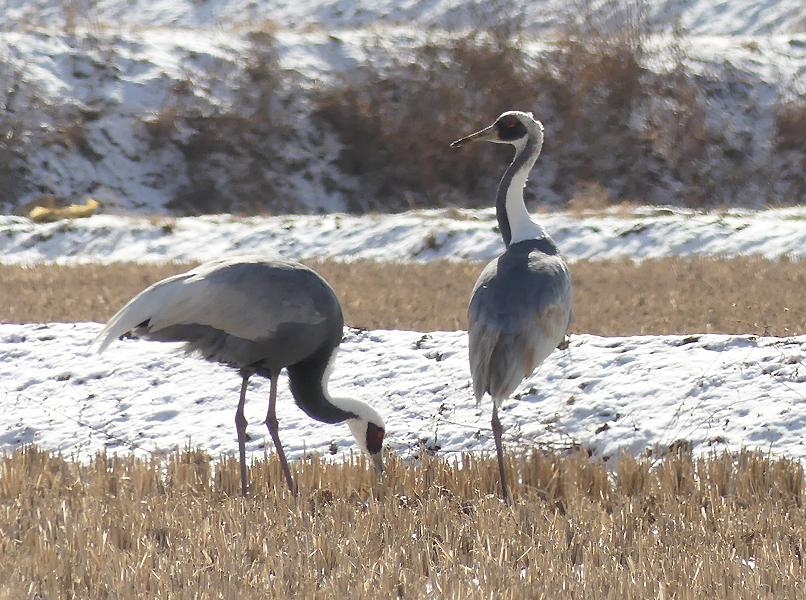 White-naped-crane4