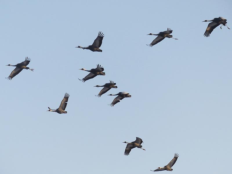 White-naped-cranes