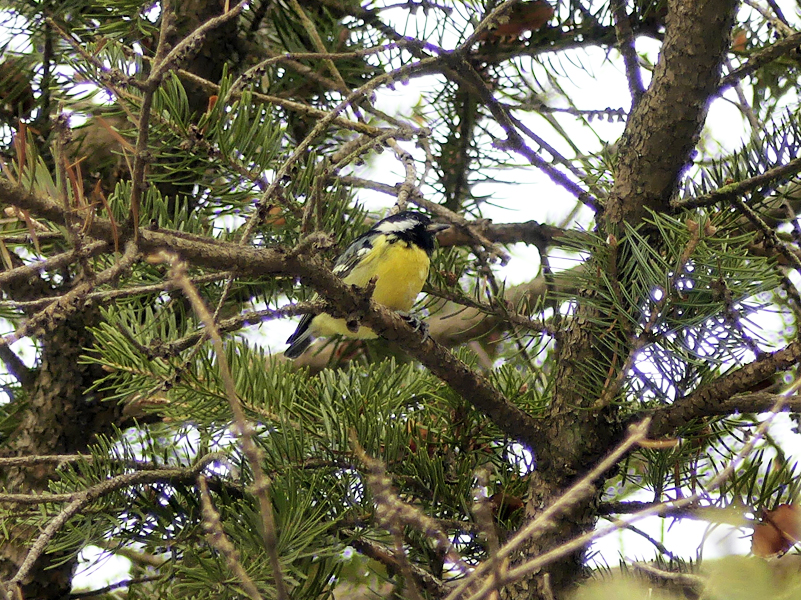 Yellow-bellied-tit