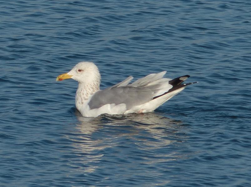 vega-gull