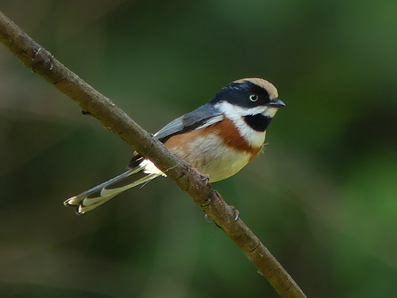 Black-throated-tit3