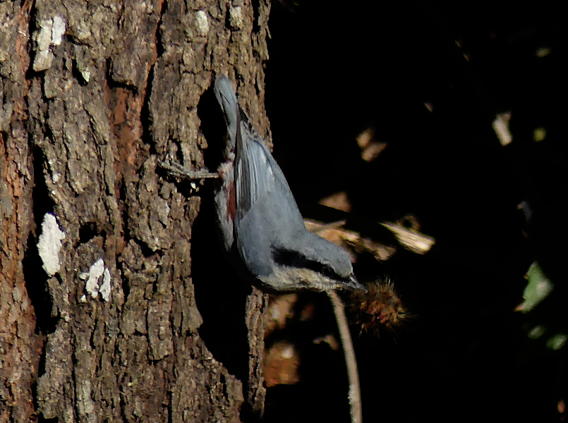 Chestnut-vented-nuthatch3