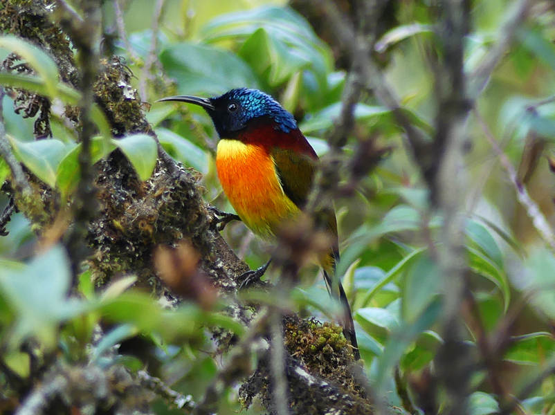 Green-tailed-sunbird