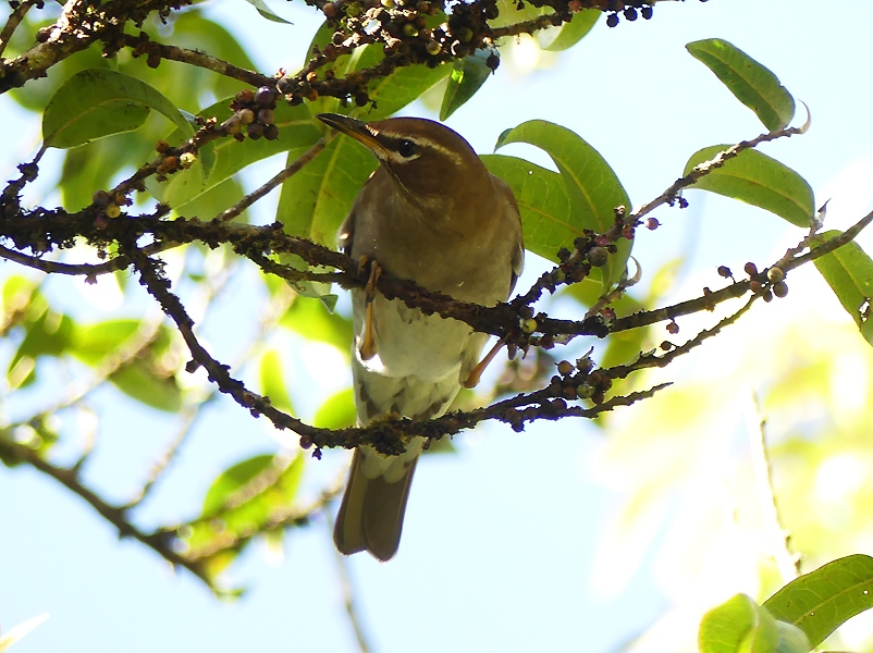 Grey-sided-thrush3