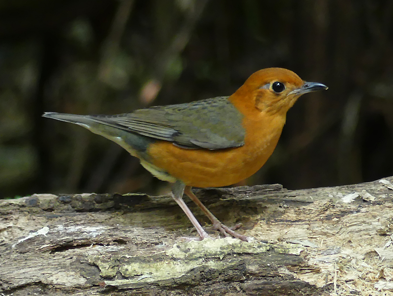 Orange-headed-thrush7