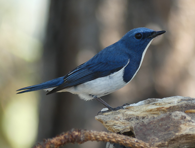 Ultramarine-flycatcher3