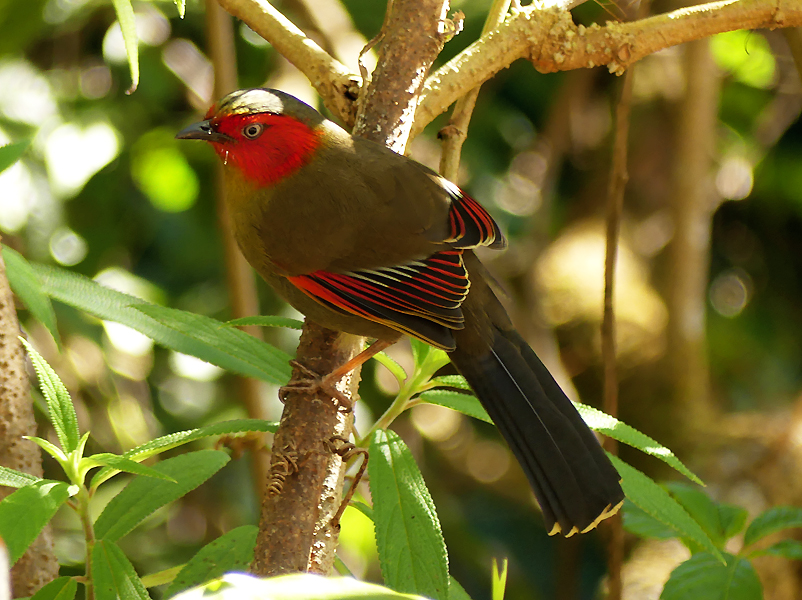 scarlet-faced-liocichla8