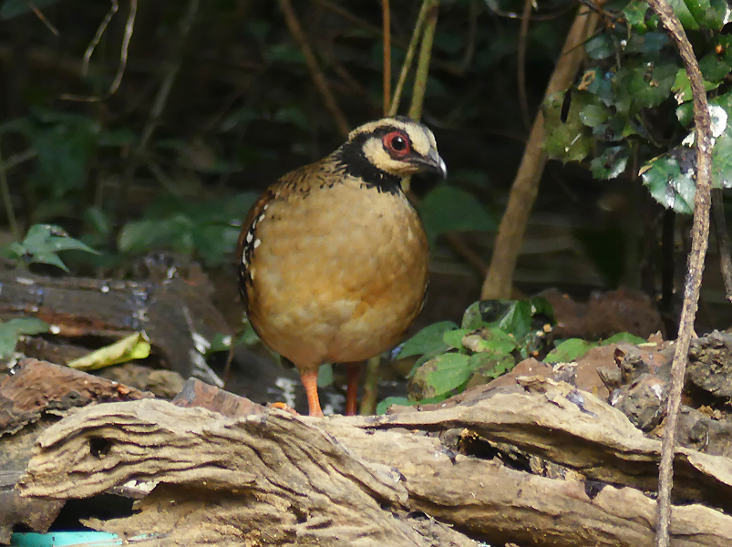 Bar-backed-partridge5