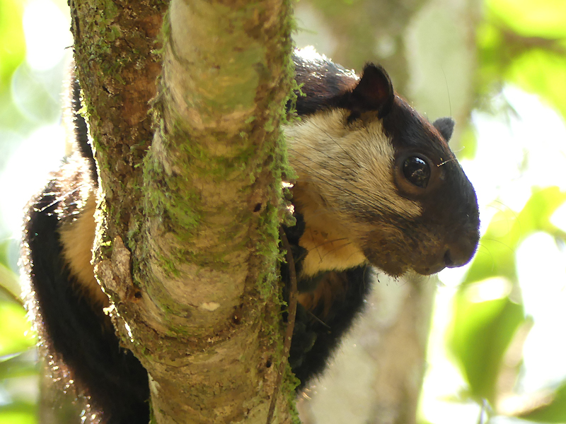 Black-giant-squirrel