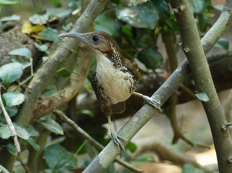 Large-scimitar-babbler4