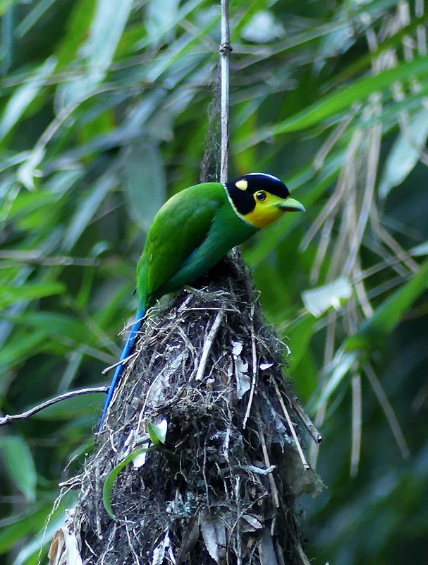 Long-tailed-broadbill2