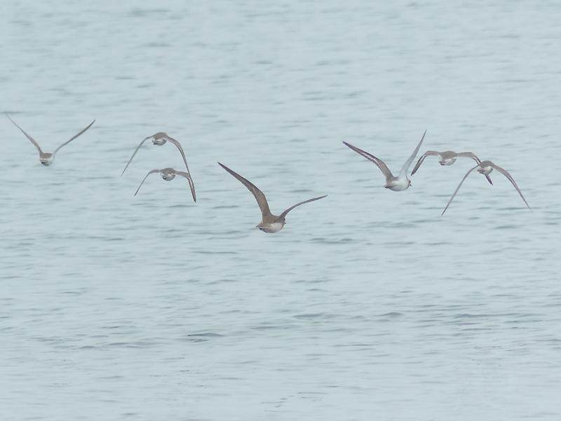 Oriental-plover-flight