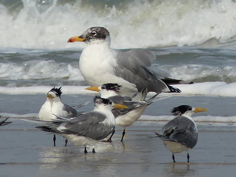 Pallas-gull3