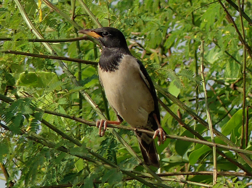 Rosy-starling2