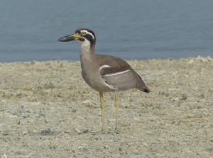 Beach-thick-knee2
