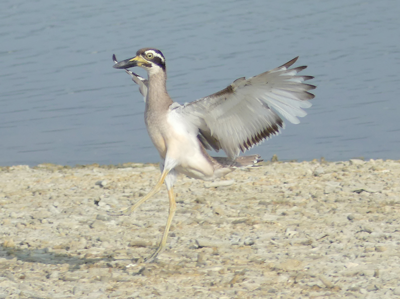 Beach-thick-knee5