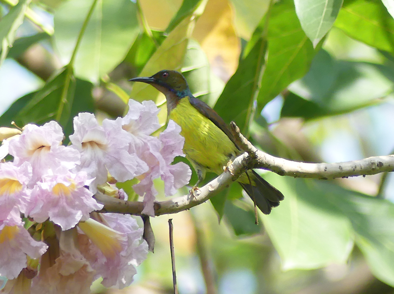 Brown-throated-sunbird2