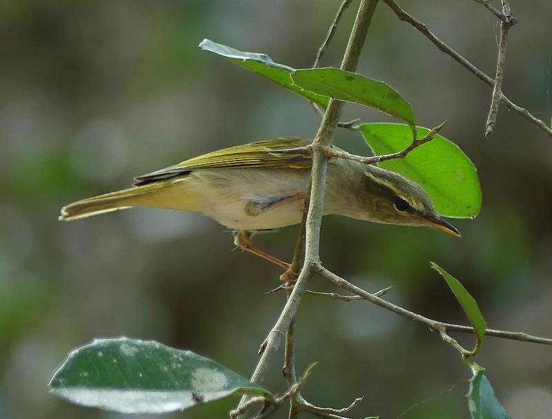 Eastern-crowned-warbler5