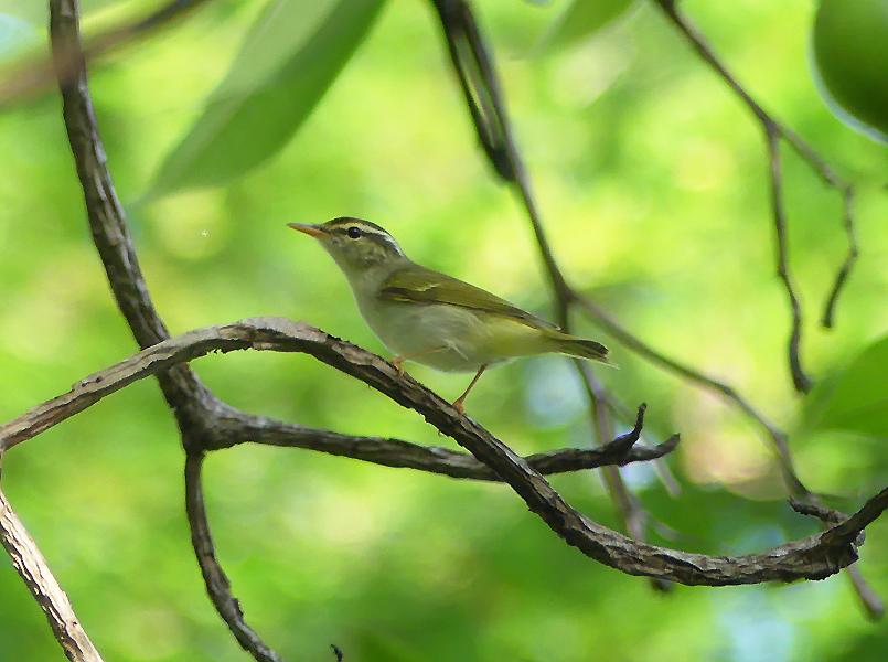 Eastern-crowned-warbler6