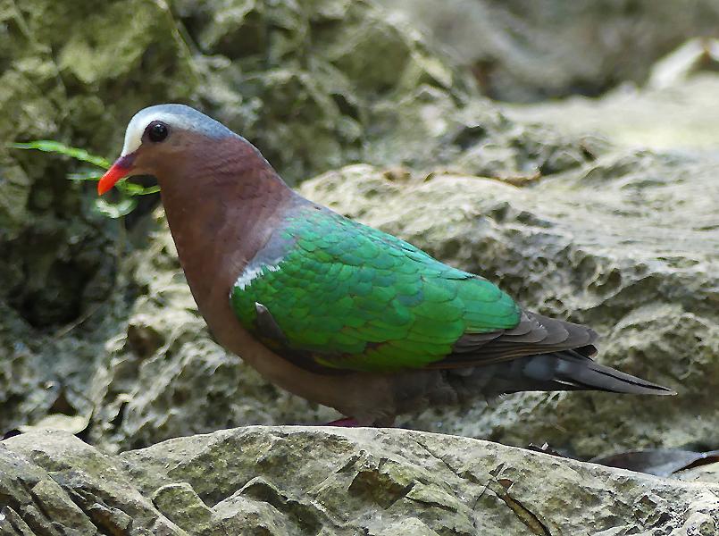 Emerald-dove2